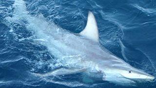 Hybrid-shark